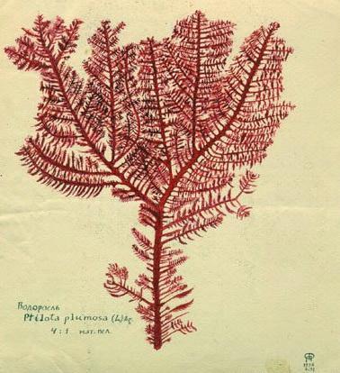 P. Florensky, Ptilota plumosa (Lettre 78 du 29-30.X.1936)